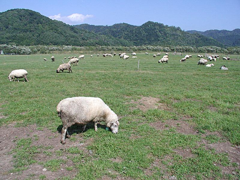 羊飼いの紹介や羊のお話し |白糠町